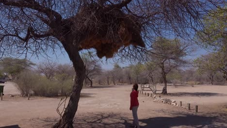 A-woman-stands-beneath-a-huge-sociable-weaver-bird-nest-in-a-tree-in-Namibia