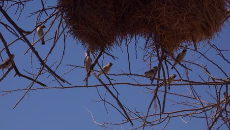 Close-up-of-the-nest-of-the-sociable-weaver-bird-on-the-plains-of-Namibia-Africa
