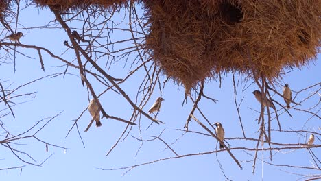 Close-up-of-the-nest-of-the-sociable-weaver-bird-on-the-plains-of-Namibia-Africa-1