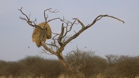 Wide-shot-of-the-nest-of-the-sociable-weaver-bird-on-the-plains-of-Namibia-Africa