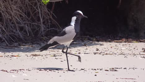A-blacksmith-lapwing-bird-chirps-and-protects-its-babies-along-a-beach-near-Cape-Town-South-Africa