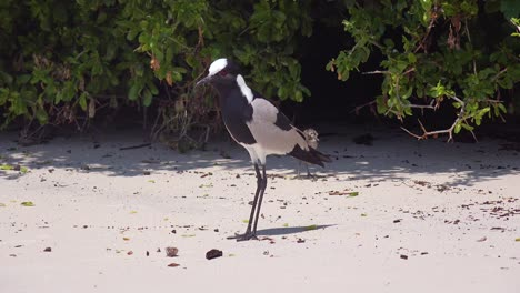 A-blacksmith-lapwing-bird-chirps-and-protects-its-babies-along-a-beach-near-Cape-Town-South-Africa-1