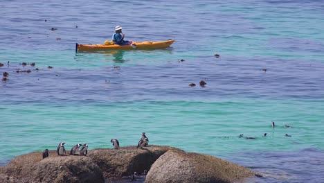 Kayakistas-Remar-Pasado-Jackass-Pingüinos-De-Patas-Negras-Nadando-Y-Donde-Se-Posan-Sobre-Rocas-En-Las-Aguas-Del-Océano-Atlántico-Frente-A-Sudáfrica