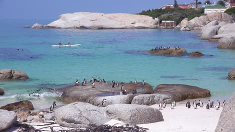 Kayakers-paddle-past-jackass-black-footed-penguins-swimming-and-perching-on-rocks-in-the-Atlantic-Ocean-waters-off-South-Africa-1