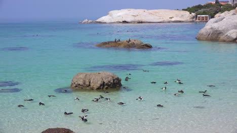 Docenas-De-Pingüinos-De-Patas-Negras-Jackass-Nadan-Cerca-De-La-Playa-De-Boulder-En-El-Cabo-De-Buena-Esperanza-Sudáfrica