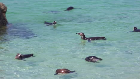 Dozens-of-jackass-black-footed-penguin-swim-near-Boulder-Beach-on-the-Cape-of-Good-Hope-South-Africa-1