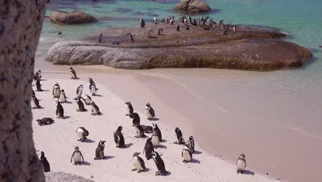 Dozens-of-jackass-black-footed-penguin-sit-on-a-beach-on-the-Cape-of-Good-Hope-South-Africa-2