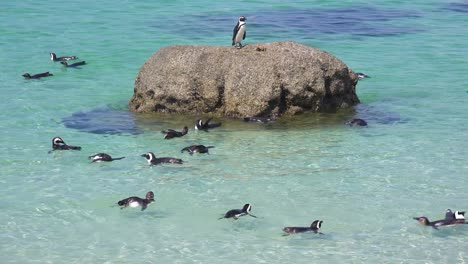 Dozens-of-jackass-black-footed-penguin-swim-near-Boulder-Beach-on-the-Cape-of-Good-Hope-South-Africa-2