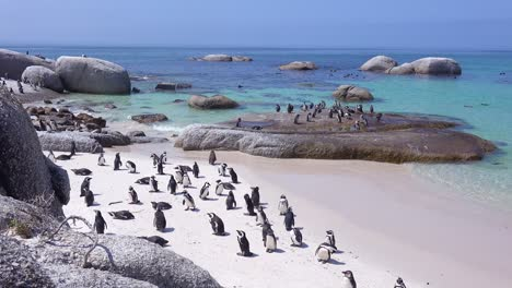 Dozens-of-jackass-black-footed-penguin-sit-on-a-beach-on-the-Cape-of-Good-Hope-South-Africa-3