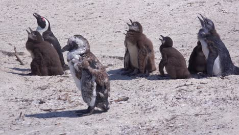 Jackass-black-footed-penguins-sun-themselves-on-a-beach-on-the-Cape-of-Good-Hope-South-Africa