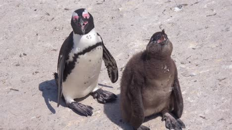 Jackass-black-footed-penguin-mother-and-crying-baby-on-a-beach-on-the-Cape-of-Good-Hope-South-Africa