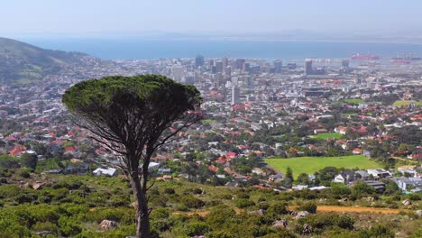 Aerial-over-skyline-of-downtown-Cape-Town-South-Africa-from-hillside-with-acacia-tree-in-foreground-1