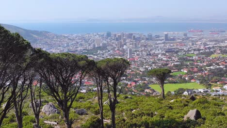 Aerial-reveal-skyline-of-downtown-Cape-Town-South-Africa-from-hillside-with-acacia-tree-in-foreground