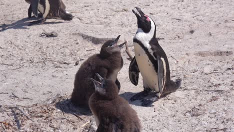 Jackass-black-footed-penguins-sun-themselves-on-a-beach-on-the-Cape-of-Good-Hope-South-Africa-2