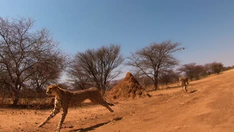 Two-African-cheetahs-run-in-slow-motion-on-the-plains-of-Africa
