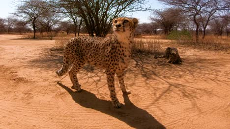 Two-African-cheetahs-are-fed-and-look-attentive-at-a-cheetah-conservation-center