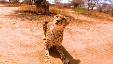 Zwei-Afrikanische-Geparden-Knurren-Knurren-Und-Schauen-Aufmerksam-Aus-Bevor-Sie-In-Einem-Gepardenschutzzentrum-In-Namibia-Füttern
