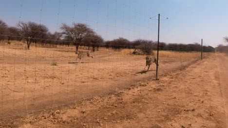 Three-African-cheetahs-run-in-slow-motion-behind-a-fence-at-a-cheetah-rehabilitation-center-in-Africa
