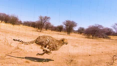 African-cheetahs-big-cats-running-in-slow-motion-behind-a-fence-at-a-cheetah-rehabilitation-and-conservation-center-in-Africa
