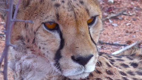 Beautiful-close-up-of-a-cheetah-with-soulful-brown-eyes-looking-into-the-distance-on-the-plains-of-Africa-1