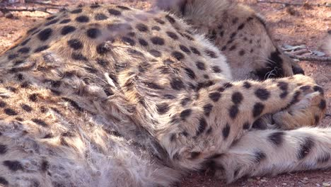 A-cheetah-sleeps-and-breathes-on-the-savannah-of-Africa