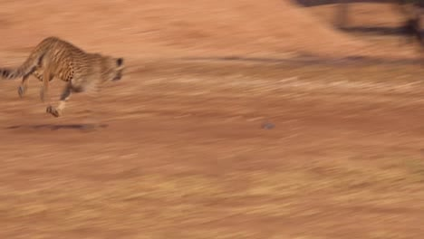 A-cheetah-chases-a-lure-on-a-string-and-exercises-at-a-cheeta-rehabilitation-and-conservation-center-in-Namibia-Africa