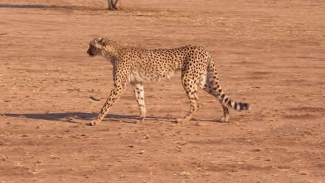 A-cheetah-walks-and-hunts-on-the-savannah-plains-of-Africa-in-this-safari-shot