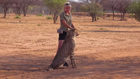 A-woman-trainer-trains-a-cheetah-using-meat-food-on-a-spoon-at-a-cheetah-conservation-and-rehabilitation-center-in-Namibia-Africa