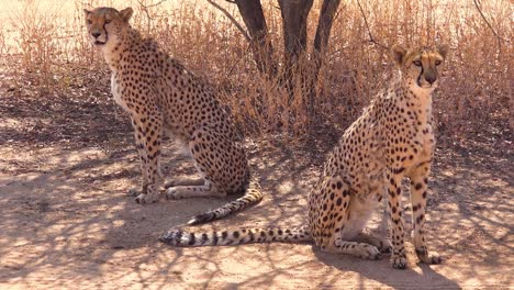 Two-big-cat-cheetahs-pose-together-on-the-plains-of-Africa