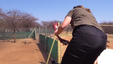 A-woman-worker-feeds-cheetahs-fresh-red-meat-at-a-cheeta-rehabilitation-and-conservation-center-in-Namibia-Africa