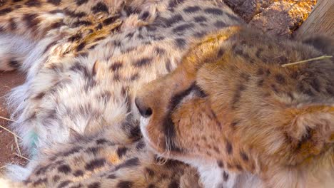 A-beautiful-cheetah-turns-and-looks-straight-into-the-camera-beautiful-big-cat-on-safari-in-Africa