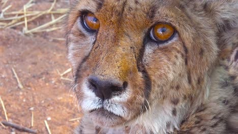 Beautiful-close-up-of-a-cheetah-with-soulful-brown-eyes-looking-into-the-distance-on-the-plains-of-Africa-2