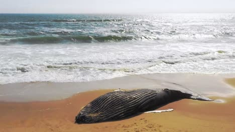 Incredible-aerial-shot-of-a-dead-humpback-whale-lying-on-an-abandoned-beach-along-the-Skeleton-Coast-of-Namibia