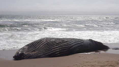 A-dead-humpback-whale-lying-on-an-abandoned-beach-along-the-Atlantic-Ocean-Skeleton-Coast-of-Namibia