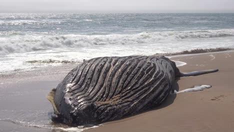 A-dead-humpback-whale-lying-on-an-abandoned-beach-along-the-Atlantic-Ocean-Skeleton-Coast-of-Namibia-1