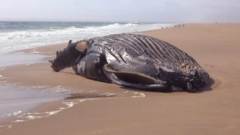 A-dead-humpback-whale-lying-on-an-abandoned-beach-along-the-Atlantic-Ocean-Skeleton-Coast-of-Namibia-2