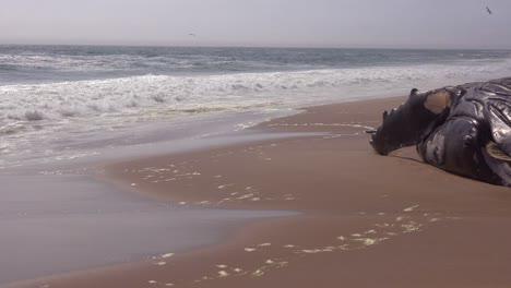 Una-Ballena-Jorobada-Muerta-Tumbado-En-Una-Playa-Abandonada-A-Lo-Largo-De-La-Costa-Del-Esqueleto-Del-Océano-Atlántico-De-Namibia-3
