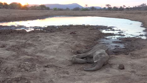 A-dead-poached-young-elephant-lies-beside-a-watering-hole-on-the-plains-of-Africa-a-victim-of-poaching