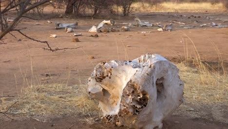 The-dead-skeleton-remains-of-a-poached-African-elephant-sit-on-the-dry-plains-of-Africa-1