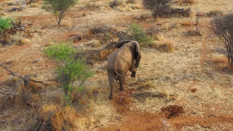 Great-drone-aerial-over-a-solo-beautiful-elephant-walking-on-the-savannah-in-Africa-on-safari-in-Erindi-Park-Namibia