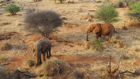 Great-drone-vista-aérea-over-a-two-beautiful-African-elephants-on-the-savannah-in-Africa-on-safari-in-Erindi-Park-Namibia