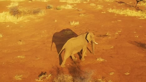 Drone-aerial-over-a-solo-beautiful-elephant-walking-on-the-savannah-in-Africa-at-sunset-on-safari-in-Erindi-Park-Namibia