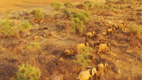 Drone-aerial-over-a-huge-family-herd-of-African-elephants-moving-through-the-bush-and-savannah-of-Africa-Erindi-Park-Namibia