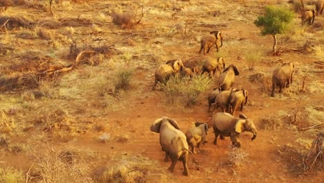 Drone-aerial-over-a-huge-family-herd-of-African-elephants-moving-through-the-bush-and-savannah-of-Africa-Erindi-Park-Namibia-1