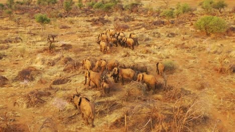 Incredible-drone-aerial-over-a-huge-family-herd-of-African-elephants-moving-through-the-bush-and-savannah-of-Africa-Erindi-Park-Namibia