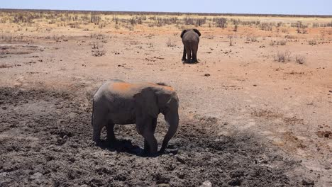 A-young-elephant-bathes-in-mud-at-a-watering-hole-on-the-African-savannah-with-in-Etosha-Park-Namibia