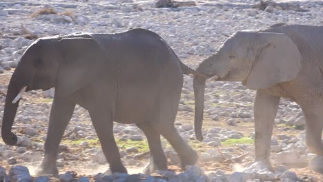 Two-cute-young-elephants-walk-with-one-pulling-the-others-tail-at-a-watering-hole-in-Etosha-National-Park-Namibia