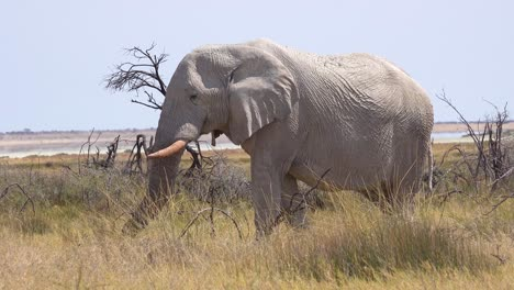 Hermoso-Y-Raro-Elefante-Blanco-En-El-Salar-Cubierto-De-Polvo-Blanco-En-El-Parque-Nacional-De-Etosha-Namibia-África