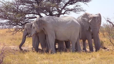 Rare-white-elephants-seek-shade-on-the-salt-pan-covered-in-white-dust-at-Etosha-National-Park-Namibia-Africa