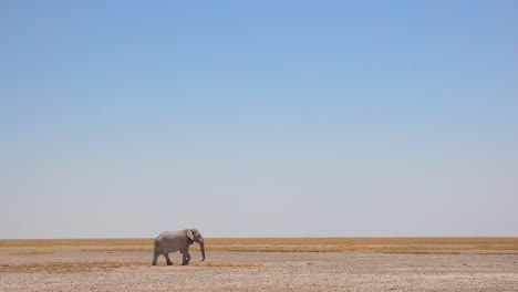 A-remarkable-shot-of-two-African-elephants-crossing-a-flat-dry-plain-in-Etosha-National-Park-Namibia